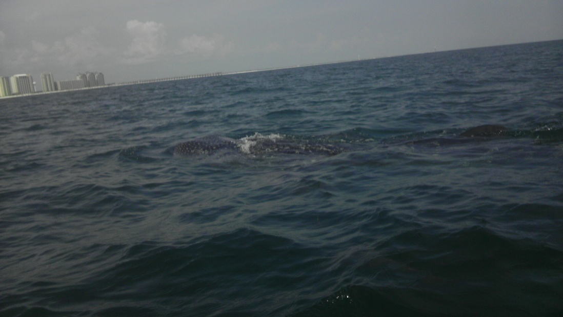 Whale Shark off Navarre Beach 08/18-imag0911-jpg