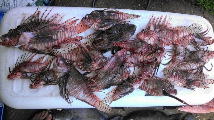 Labor Day 2013 Dive report  LION FISH STING-imag2319-jpg