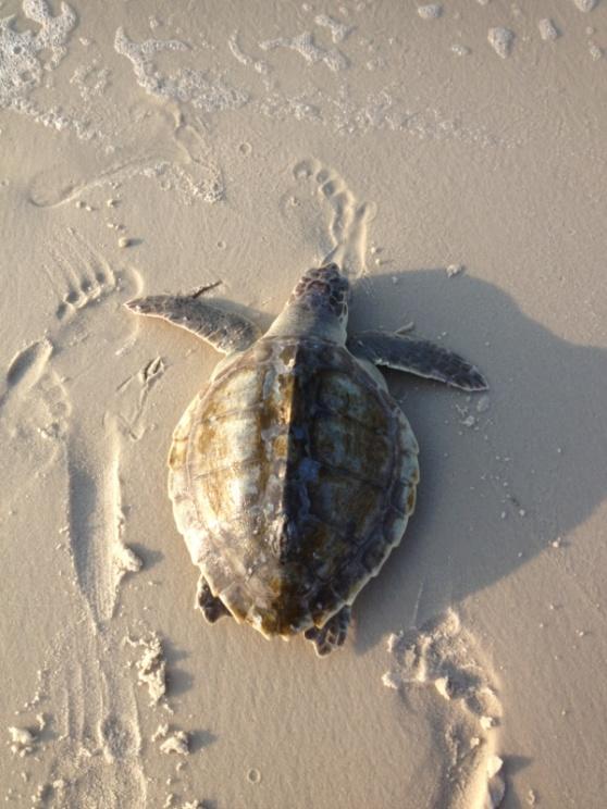 Sea turtles-image-2422705128-jpg