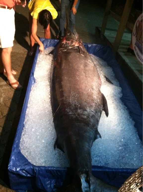 Video of 783# Blue Marlin weighed at ECBC-image-490766621-jpg