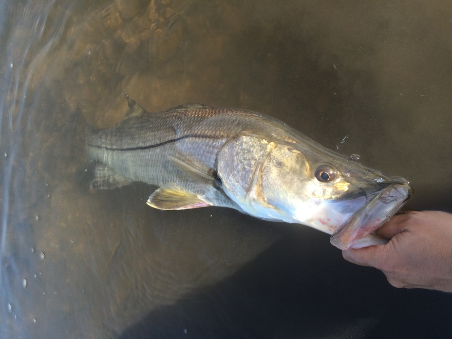 Crystal River Snook-image-jpg
