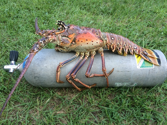 6.5 lb lobster today!-image-jpg