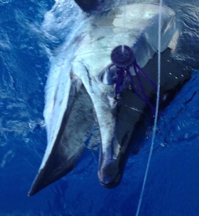 Bottle Nose Blue Marlin?-image-jpg