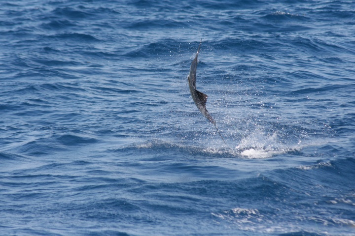 A few sailfish pics from the weekend-img_0054-jpg