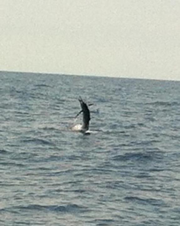 Sailfish at the 131 Hole-jumping%2520sail-jpg
