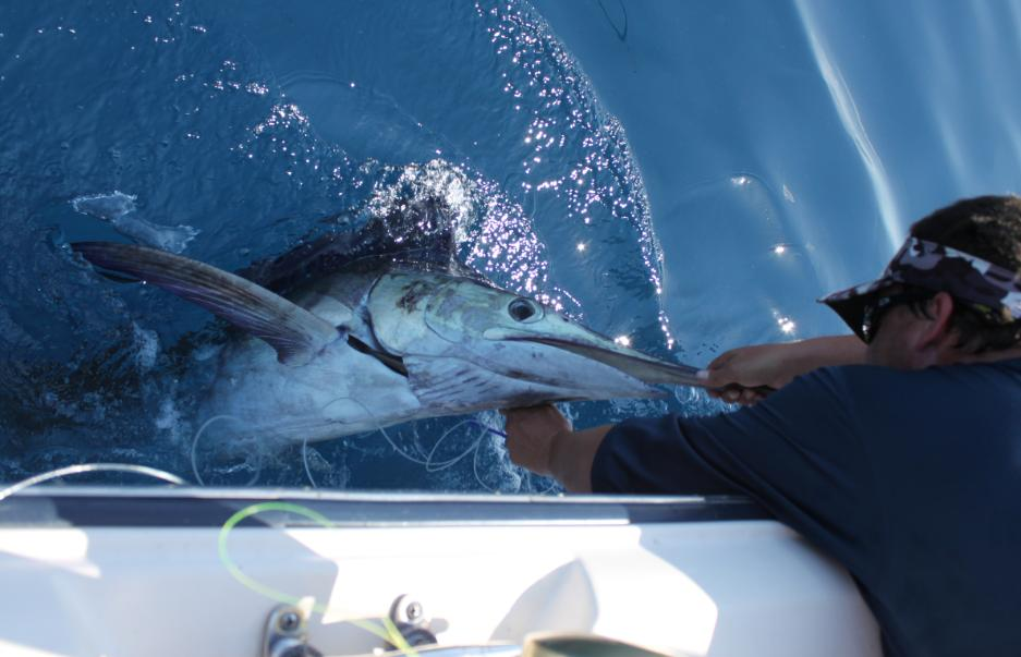 Blue Marlin on the Maddie DII-marlin-release-jpg