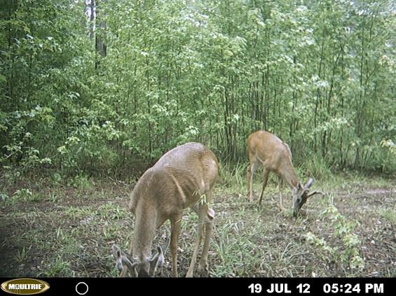 more bama deer-mdgc0174-jpg