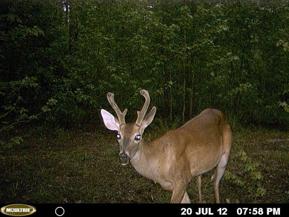 more bama deer-mdgc0272-jpg