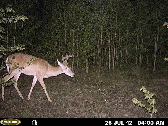 more bama deer-mdgc0355-jpg