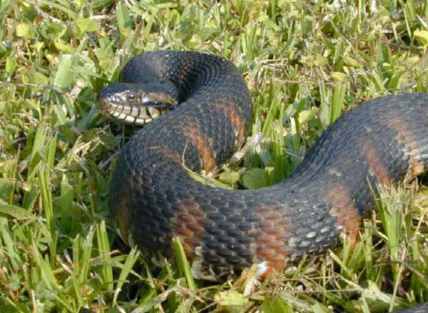 Snake ID-nerodia_fasciata_picti-jpg