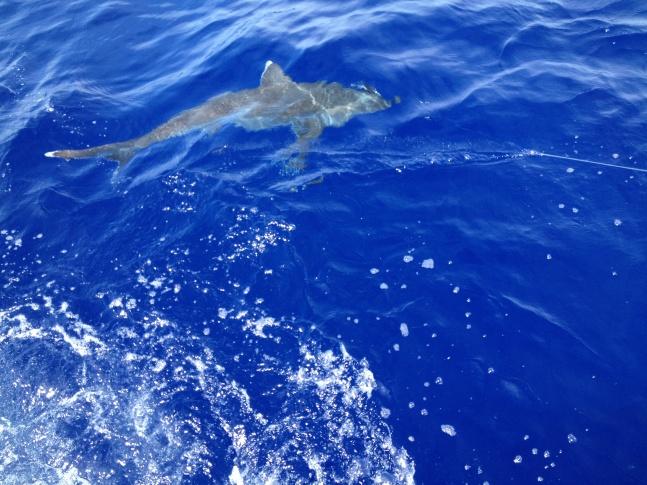 Return of the Guam fishing report!-oceanic-white-tip-jpg