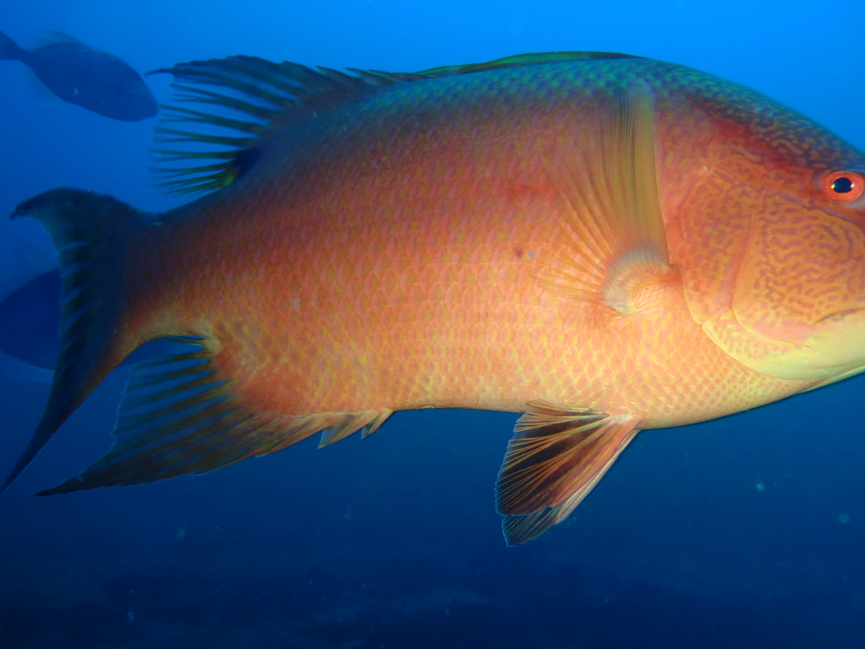 BIG hogfish spotted off of Pensacola-pa261434-jpg