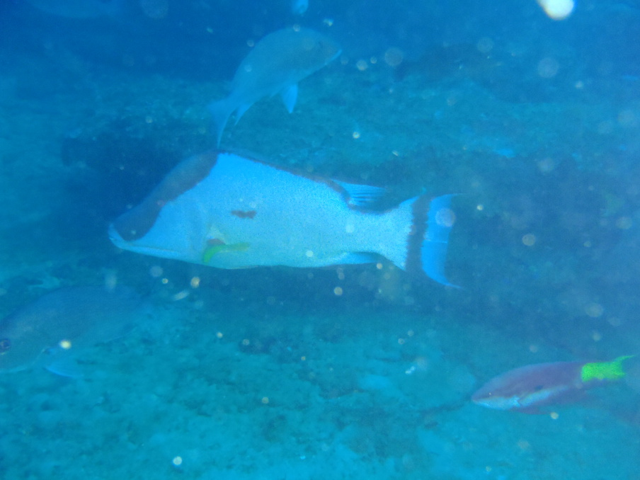 BIG hogfish spotted off of Pensacola-pa261450-jpg