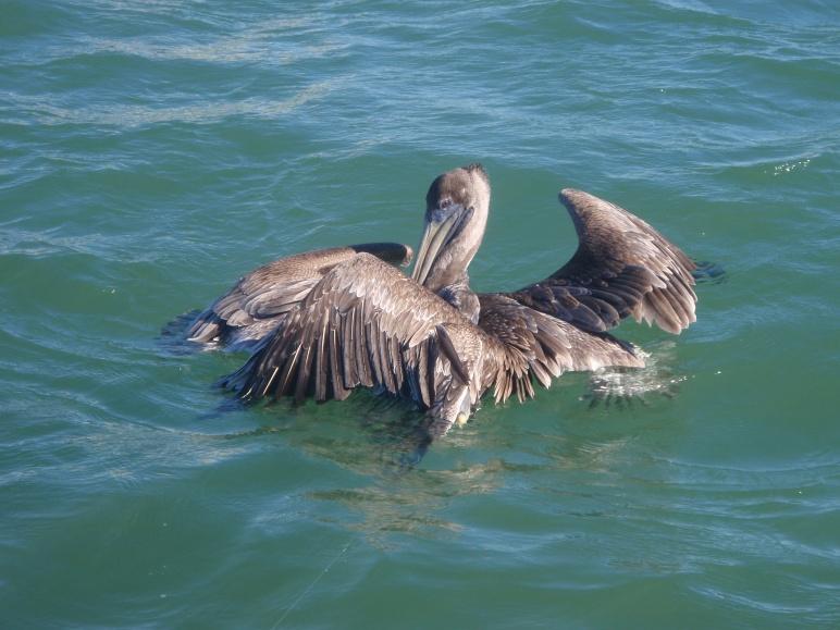 watch those pelicans-pb270494-jpg