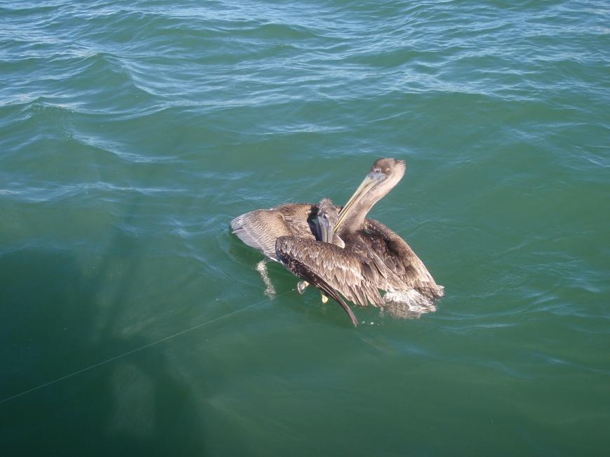 watch those pelicans-pb270495-jpg