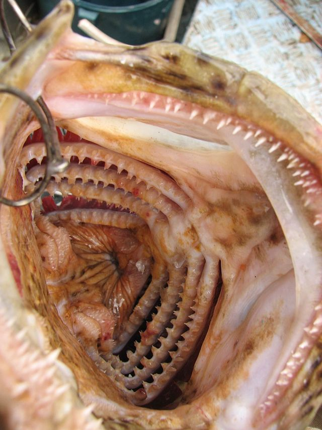 Fish ID-pharynx_and_gill_raker_of_epinephelus_coioides-jpg