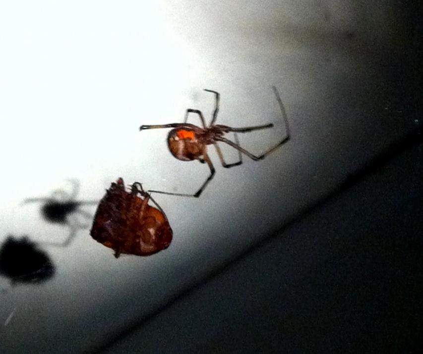 Brown Widow ID?-photo-jpg