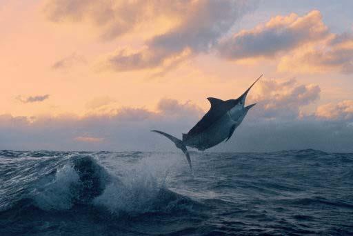 The Best Marlin pics-photo-marlin-jump-jpg