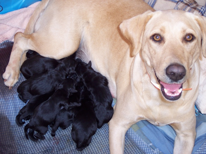 yellow labrador puppies for sale. Yellow Lab Puppies For Sale In