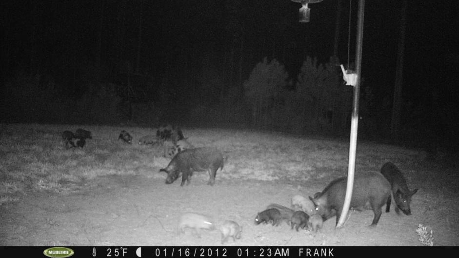 Hog Hunting-pict0015-jpg