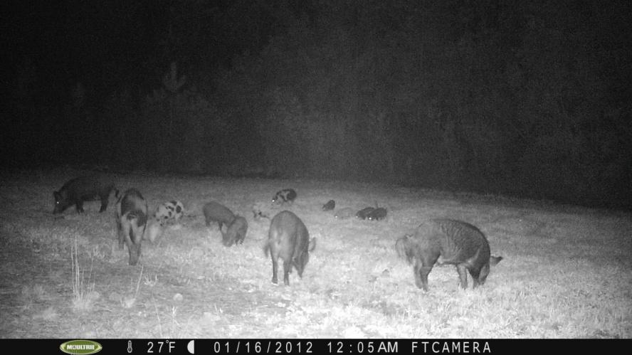 Hog Hunting-pict0016-jpg