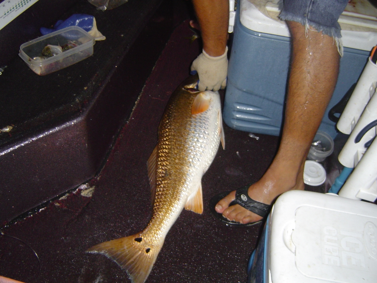 Reds are scared of purple flake?-redfish-13-jpg