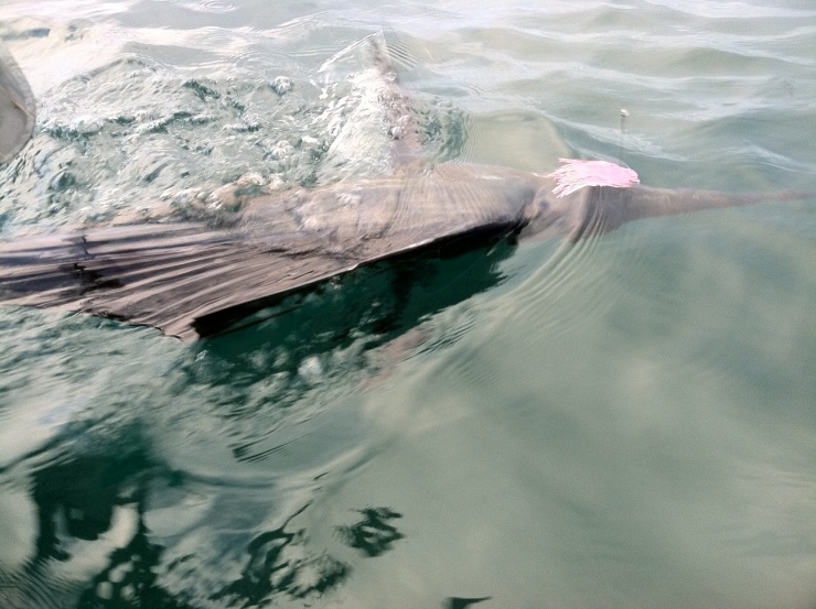First Sailfish-sailfish-1-5-5-12-jpg