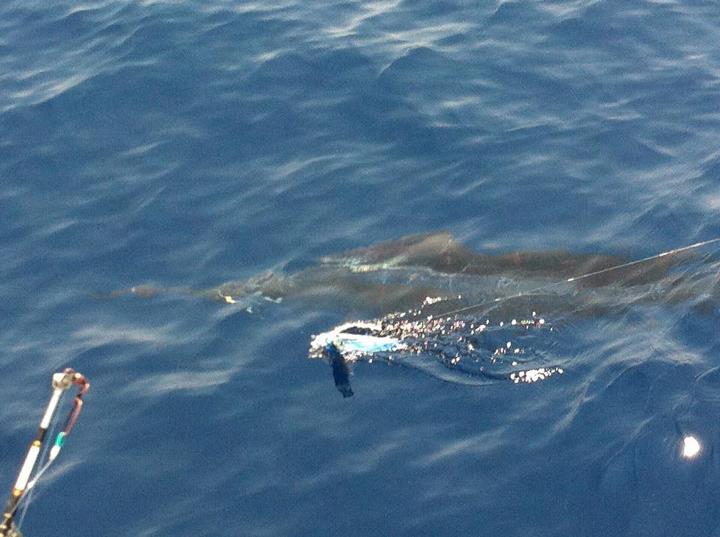 Sailfish at the 131 Hole-sailfish%2520in%2520close-jpg