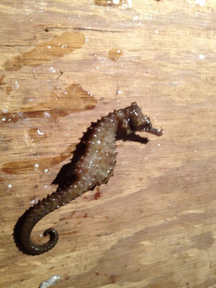 Tonight's Catch-sea-horse-jpg