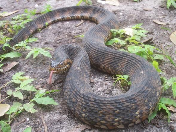 Snake ID-snake039-jpg