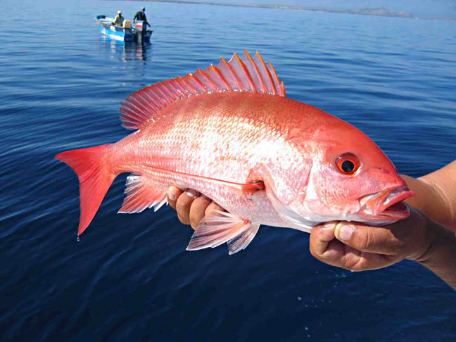 What fish is this??-snapper3-jpg