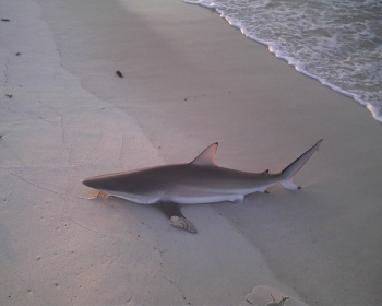 Johnson's Beach 6/14/12 Sharking-spinner-jb-jpg