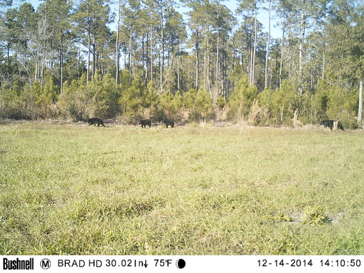 No stuck lime truck pics...just deer-swampy-bottom-bears-2-jpg