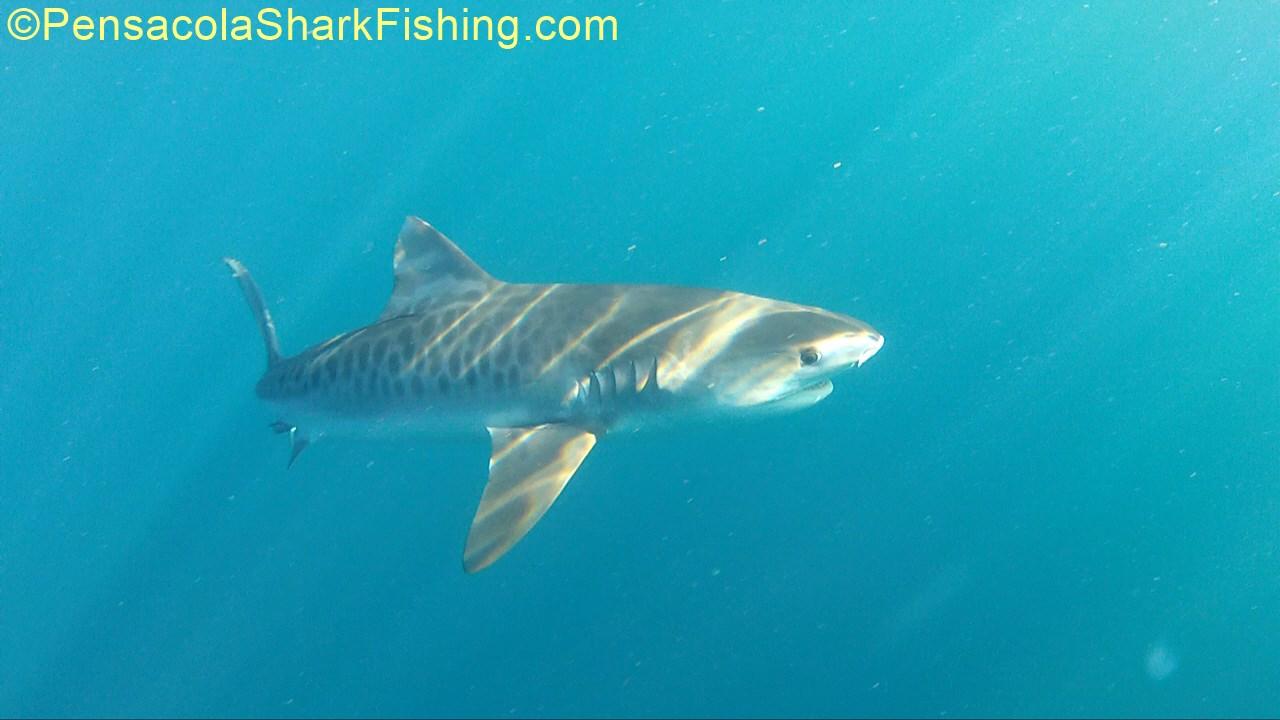 Shark Video on a Rainey day-tsr-watermark-0303-jpg