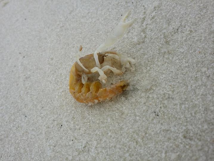 Sand Fleas / Ghost Shrimp-uploadfromtaptalk1428623238400-jpg