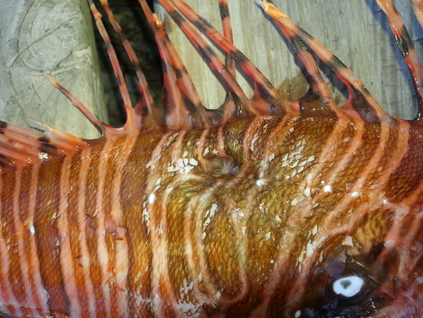 Chevron reef lionfish harvest videos-wounded-01b-jpg