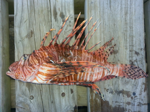 Lionfish Special on Science Channel-wounded-01c-jpg