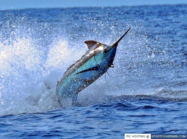 The Best Marlin pics-www-sportfishermen-com-jpg