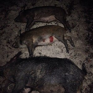 pigs down!