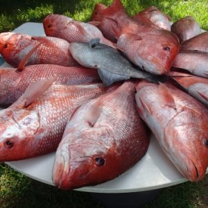 Mess of Snapper