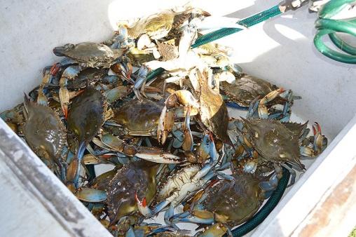 Blue Crabs a plenty