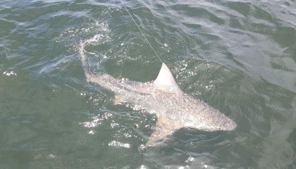 Shark 2 whitepoint 4