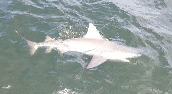 Shark 2 whitepoint